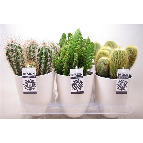<h4>Cactus 12 cm. in ronde pot `chic` met etiket</h4>