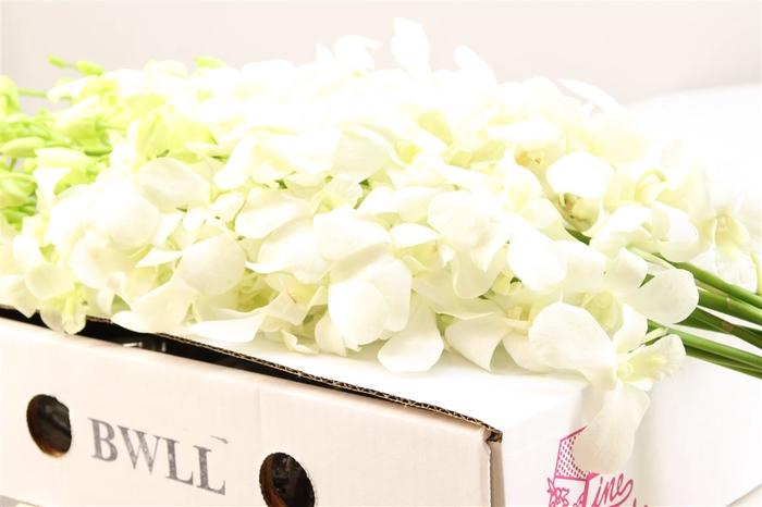 <h4>Dendrobium Wit X L ( Bwll )</h4>