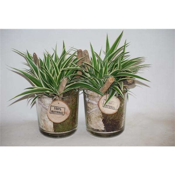 <h4>Chlorophytum Cilinderglas</h4>