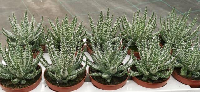 <h4>Aloe Humilis 10,5Ø 15cm</h4>