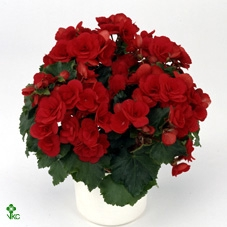 <h4>Begonia el. Betulia Red</h4>