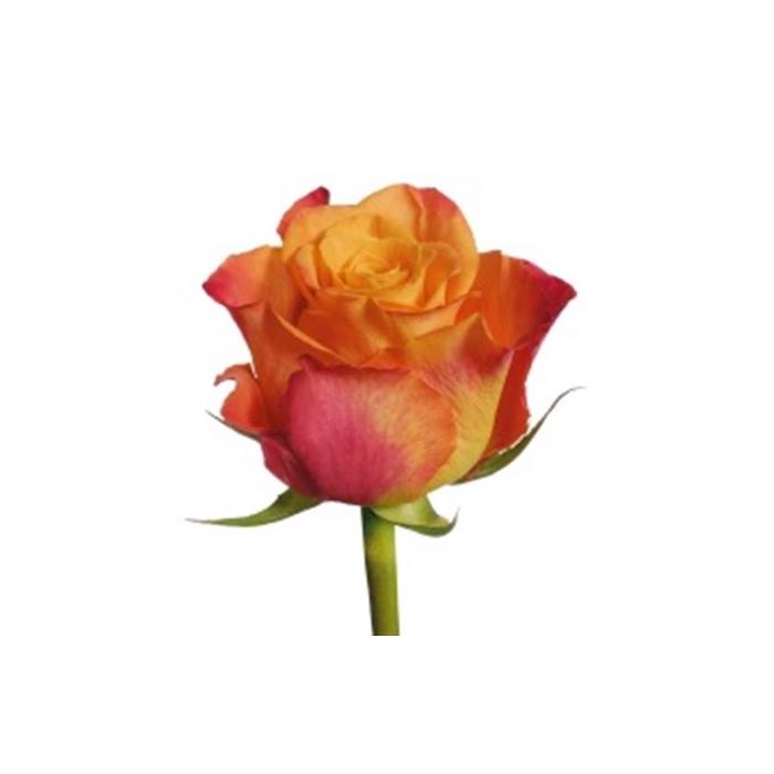 <h4>单头玫瑰 桔美人</h4>