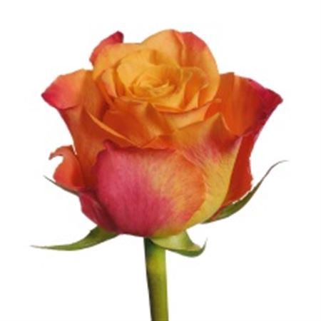 Rosa Gr. Mariyo!