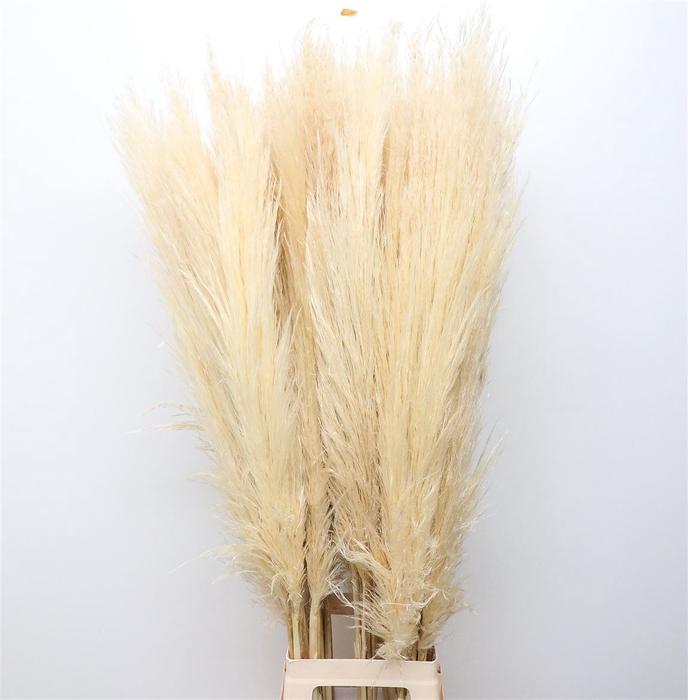 <h4>Corta Dried Bleached White</h4>