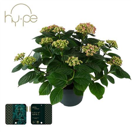 <h4>Hydrangea Curly Wurly Pink 10+</h4>