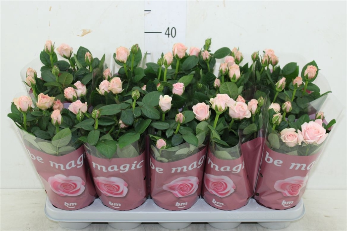 <h4>Rosa Beau Monde Light Pink</h4>