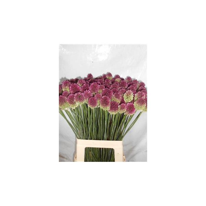 <h4>Allium Sphaerocephal P.bl</h4>