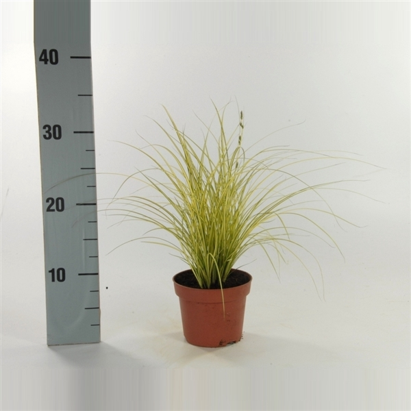 <h4>Carex brunnea  'Jenneke' p12</h4>