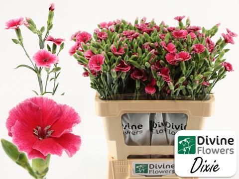 <h4>Dianthus Solomio Dixie</h4>