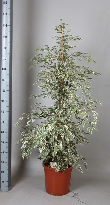 <h4>Ficus benja. 'De Gantel'</h4>