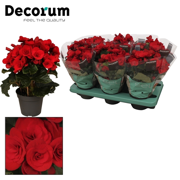 <h4>Begonia ''baladin'' rood Decorum</h4>