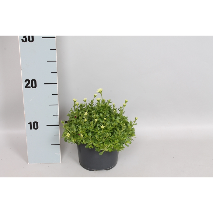 <h4>vaste planten 12 cm Saxifraga Limegreen</h4>