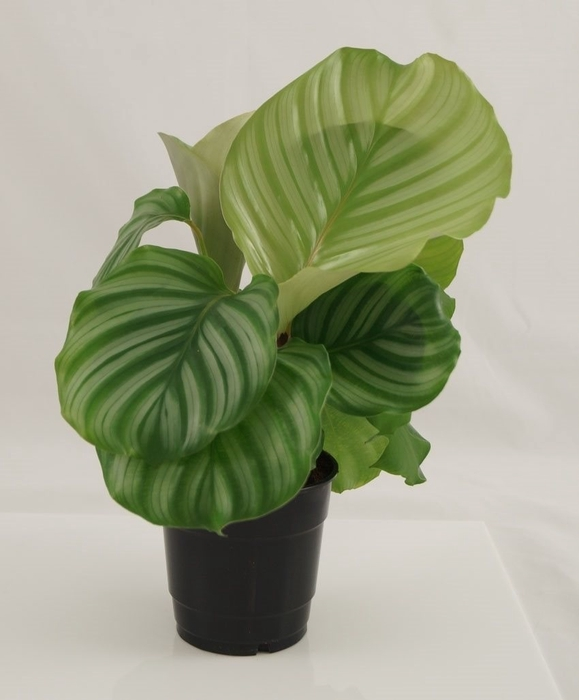 <h4>Calathea Orbifolia</h4>