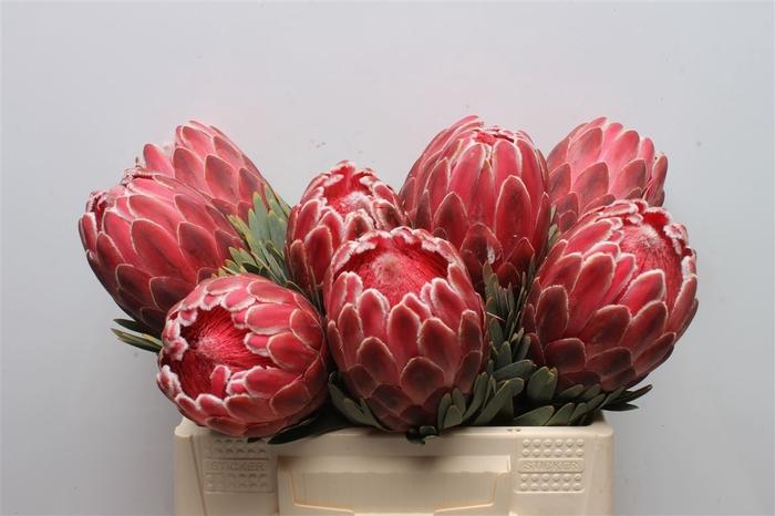 <h4>Protea Venus</h4>