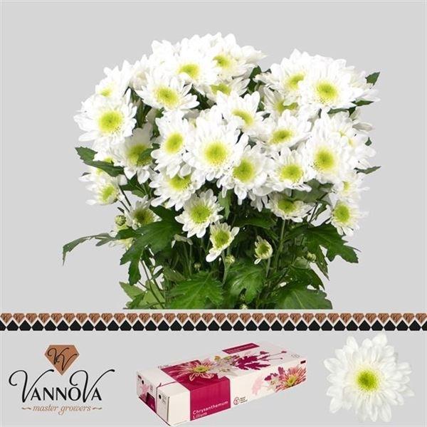 <h4>Chrysanthemum TR 'Radost'</h4>