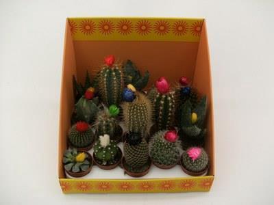 <h4>Cactus Versierd</h4>