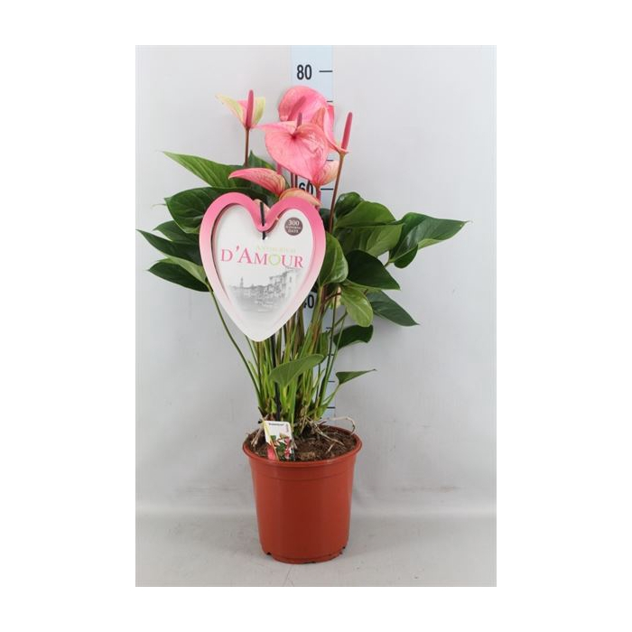 <h4>Anthurium  'Summer Love Imp'</h4>