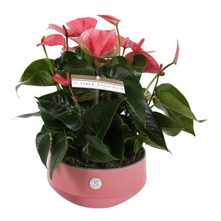 <h4>Anth St Table Pink Champion Keramiek Lucca</h4>