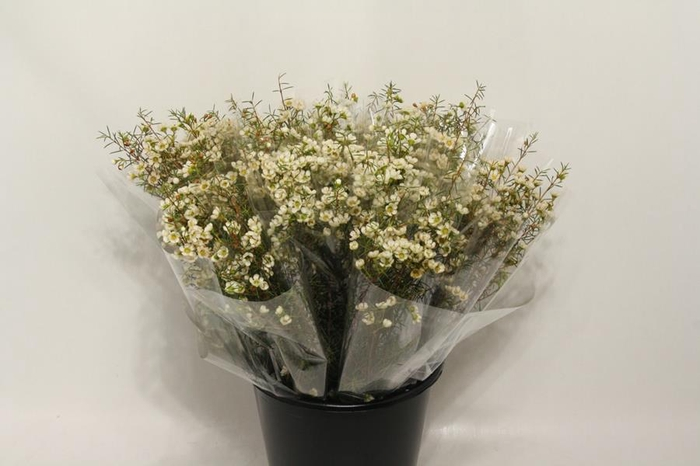 <h4>Mono Waxflower Wit X5</h4>