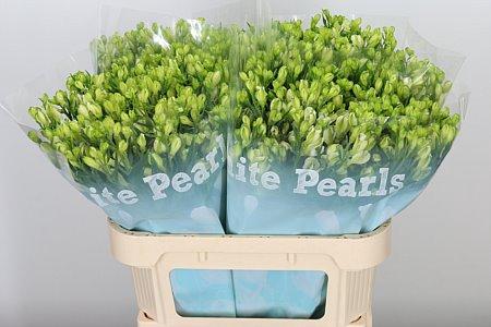 <h4>Alstr Flor White Pearls</h4>
