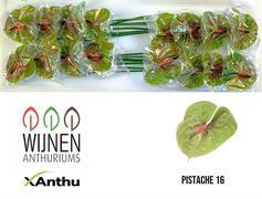 <h4>Anthurium Pistache</h4>