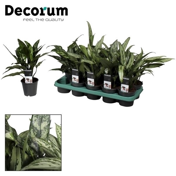 <h4>Aglaonema gemengd (Decorum)</h4>