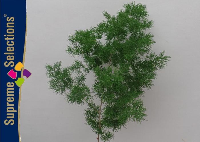 <h4>Asparagus Umbellatus</h4>