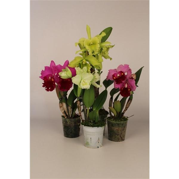 <h4>Cattleya grootbloemig mix 1 tak 3+ knop 12 cm</h4>