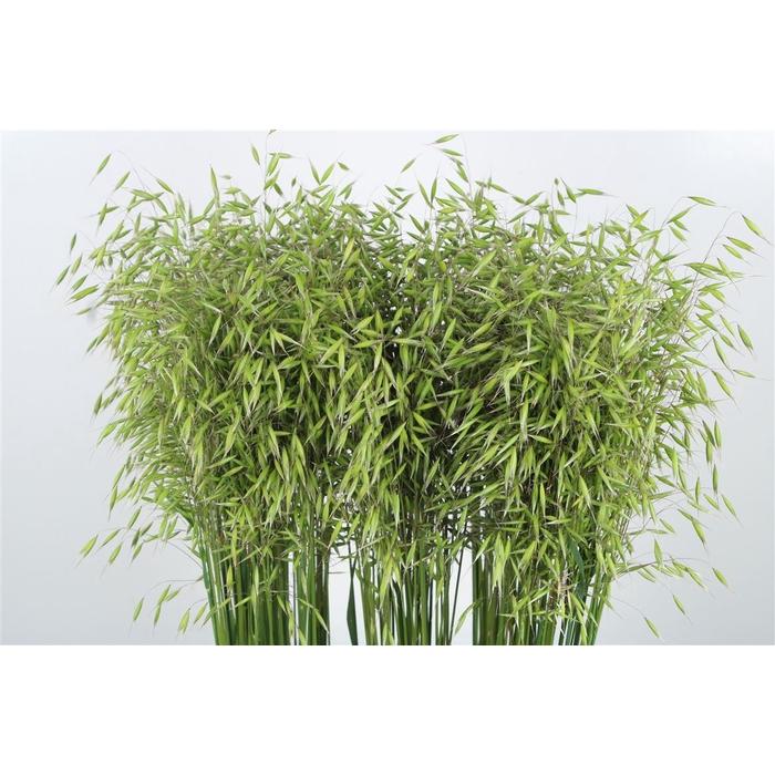 <h4>Brizanthium Groen</h4>