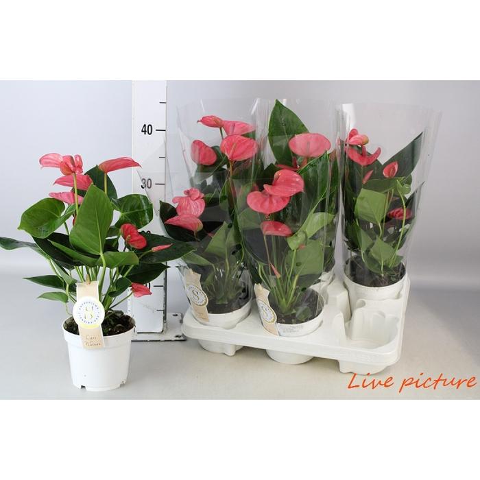 <h4>Anthurium Andr. Pink Champion</h4>