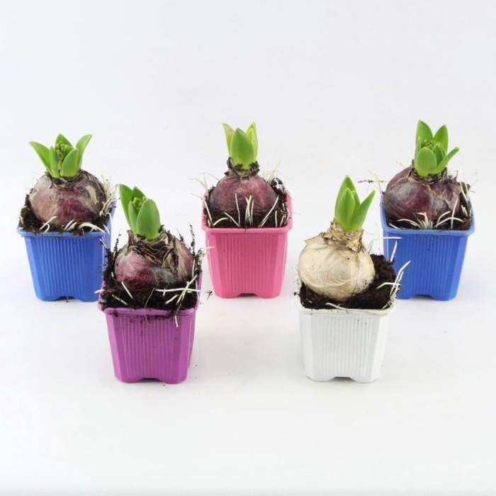 <h4>Hyacinthus mix</h4>