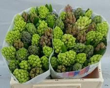 <h4>Hyacint Mixed 4 Colour</h4>