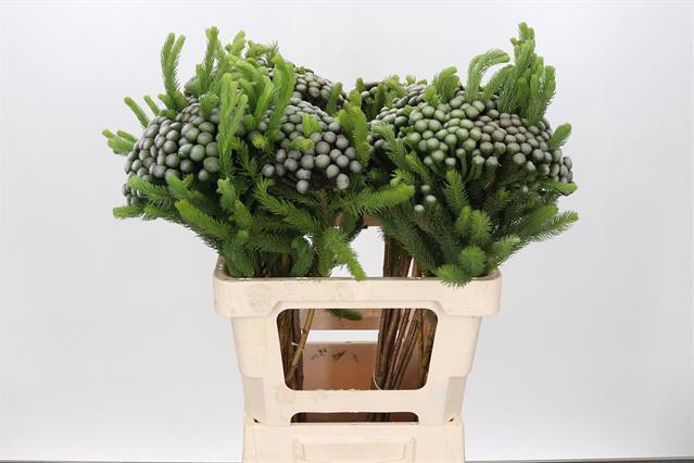 <h4>Brun Albiflora</h4>
