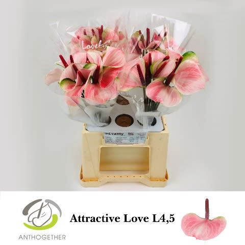 <h4>ANTH ATTRACTIVE LOVE 40 L4,5.</h4>