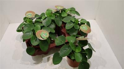 <h4>29, PANNEKOEK PLANT</h4>