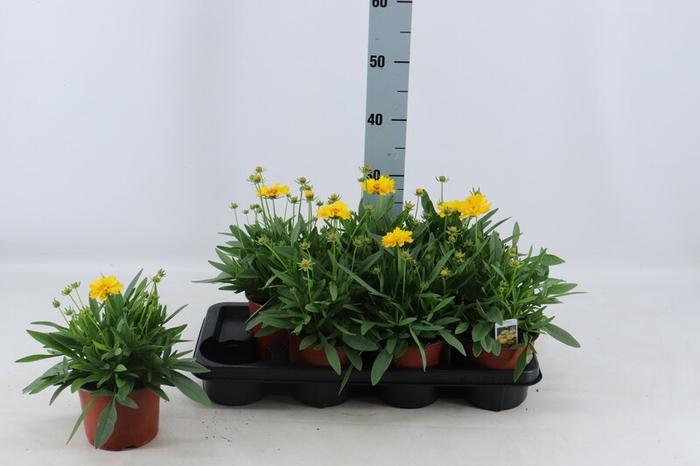 <h4>Coreopsis grandiflora Presto</h4>
