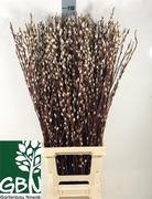 <h4>Salix algodón</h4>