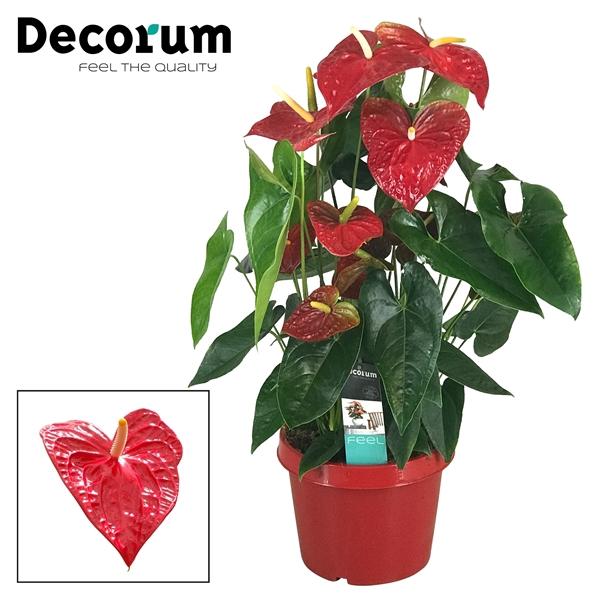 <h4>Anthurium Dakota pot 26 RODE POT</h4>