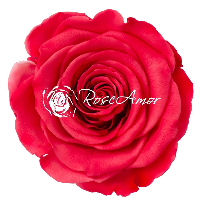 <h4>PRESERVED ROSA XL BIC 10</h4>