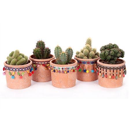 <h4>Cactus San Jose De Mayo 8,5 Cm</h4>
