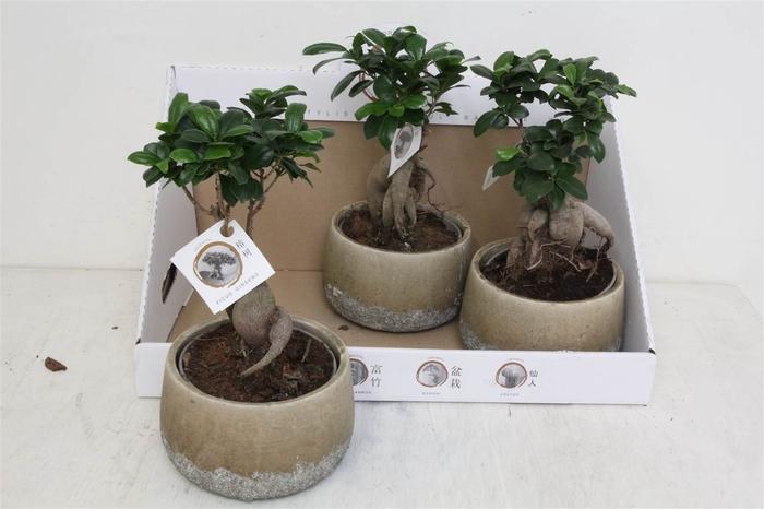 <h4>Ficus microcarpa Ginseng Rocklook Pot #</h4>