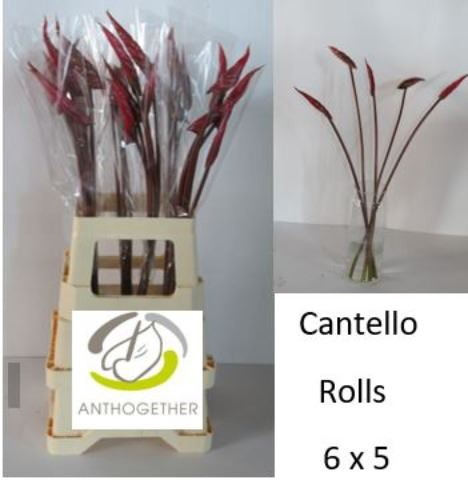 <h4>Anthurium andr. 'Cantello'</h4>