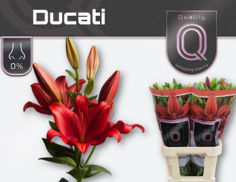 <h4>Lilium (Asiatic Grp) 'Ducati'</h4>