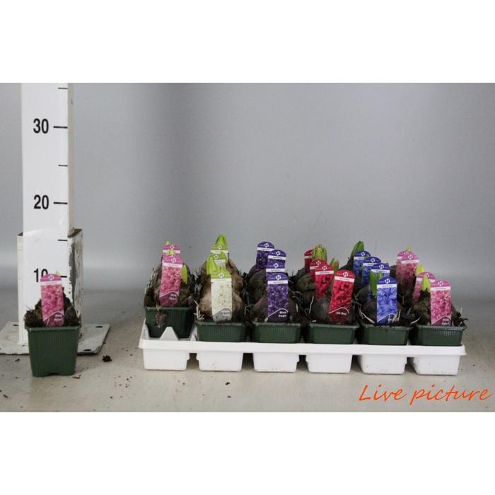 <h4>Hyacinthus Mix 5 Kleuren</h4>