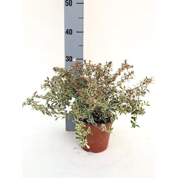 <h4>Abelia gran. Confetti</h4>