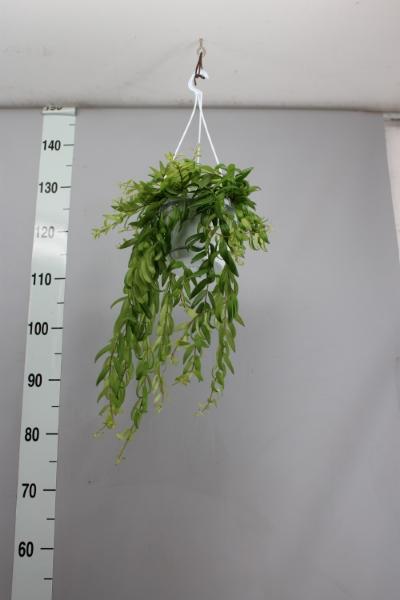 <h4>Aeschynanthus  'Japhrolepis'</h4>