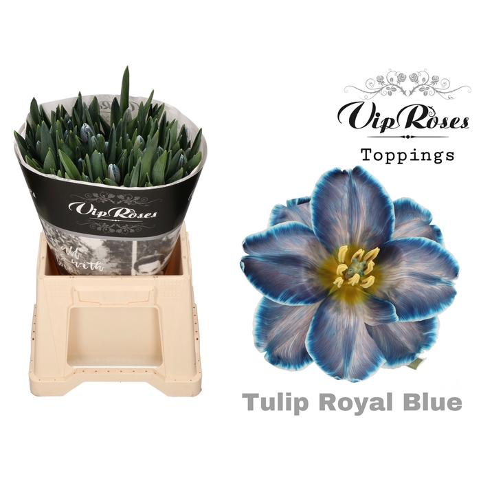 <h4>TU EN ROYAL BLUE</h4>