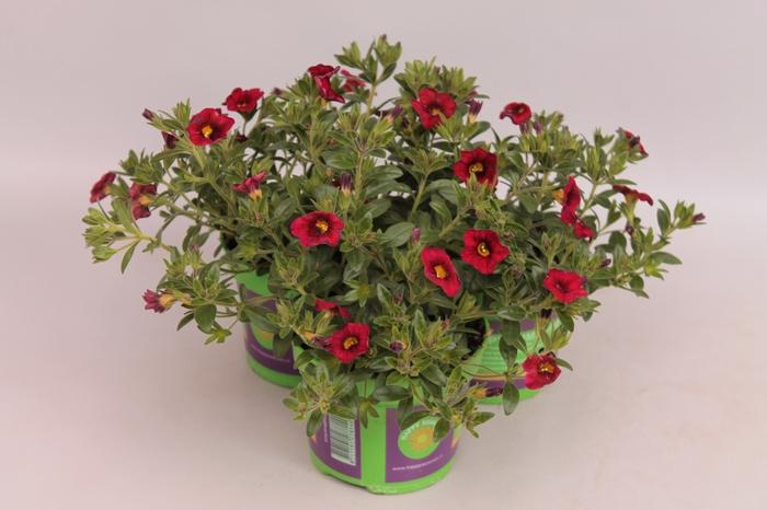 <h4>Calibrachoa Callie Scarlet Red</h4>