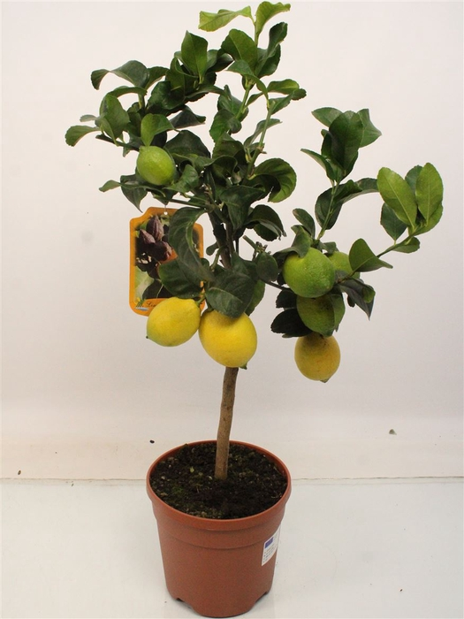 <h4>Citrus Lemon Stem (it-19-1880)</h4>
