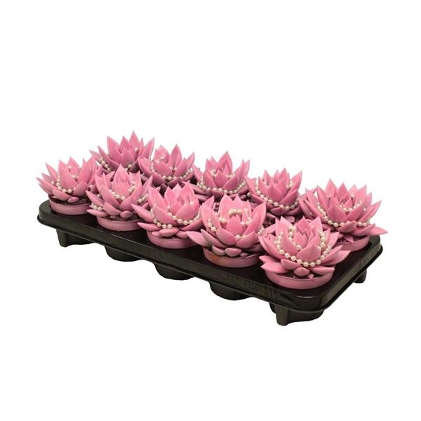 <h4>Echeveria coloured pink + chain</h4>